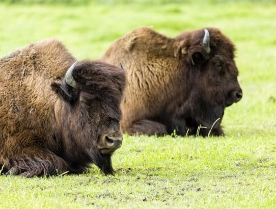 Spotted Wood Bison
